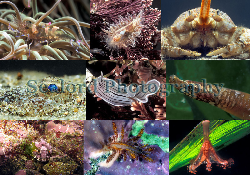 A selection of marine life found in Belle Greve Bay on Guernsey's east coast.<br /> Top row left to right: <br /> sea anemone prawn, Periclimenes sagittifer, found on the snakelocks anemone, Anemonia viridis, in Belle Greve Bay on the 20 March 2007.<br /> The nudibranch, Janolus hyalinus, found under a boulder covered in crustose coralline algae in a mid-shore tide pool on the 17 February 2007; and a masked crab, Corystes cassivelaunus, dug up from the beach and photographed on the 20 February 2007.<br /> Middle row left to right:<br /> A sand goby, Pomatoschistus minutus, buried in the sand and photographed on the 20 February 2007; a candy-striped flatworm, Prostheceraeus vittatus, photographed in a tide pool on the 5 February 2007; and a female worm pipefish, Nerophis lumbriciformis.<br /> Bottom row left to right: long-spined sea scorpion (a<br /> sculpin), Taurulus bubalis, photographed in a tide pool on the 4 February 2007; the nudibranch, Hermaea bifida photographed on the 15 February 2006; and a stalked jellyfish, Haliclystus auricula, attached to eel grass, Zostera marina and photographed on the 5 November 2006.