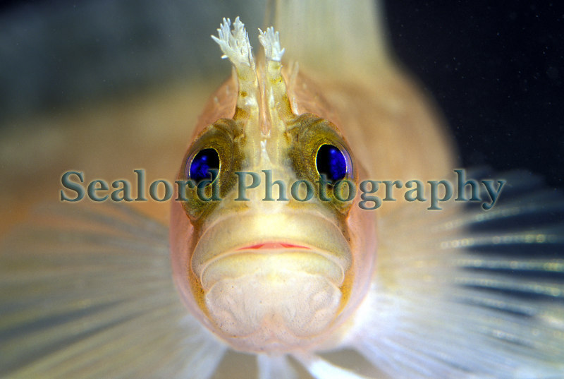 Yarrell blenny, Chirolophis ascanii, found on the anchor to a string of Clive Brown crab pots