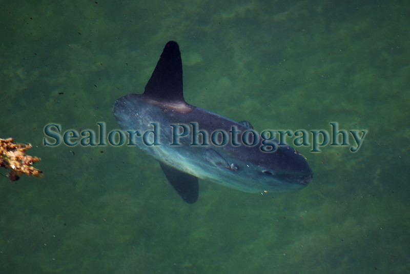 A small ocean sunfish, Mola mola, swimming in the Albert Marina, St Peter Port harbour, Guernsey on 17th July 2010