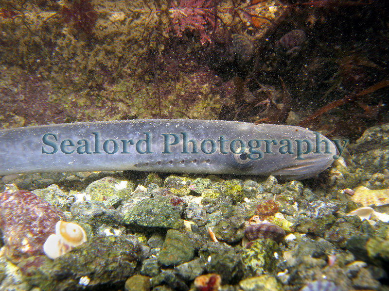 This small sea lamprey, Petromyzon marinus, was captured on a bass, Dicentrarchus labrax, by Guernsey commercial fisherman Steve Fallaize in January 2007.  I took this picture when I released it back into the sea.<br /> File No. 6299<br /> ©RLLord<br /> fishinfo@guernsey.net