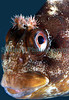 A tompot blenny, Parablennius gattorugine, from a Clive Brown crab pot off the south coast of Guernsey<br /> File No. 29-589<br /> ©RLLord<br /> fishinfo@guernsey.net
