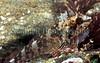 Triplefin Tripterygion delaisi BG 050107 12-873 smg