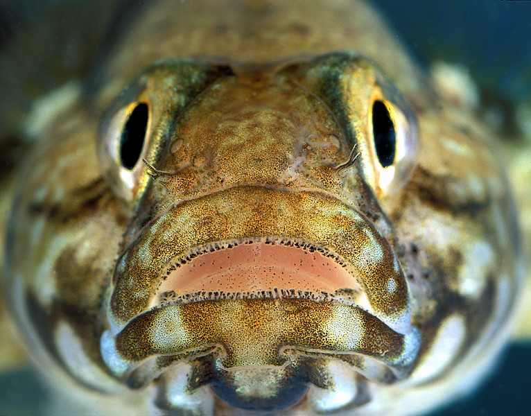 rock goby, Gobius paganellus, from La Valette, east coast of Guernsey<br /> File No. 9-646<br /> ©RLLord <br /> fishinfo@guernsey.net