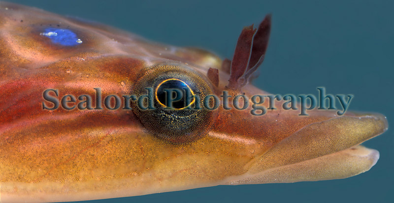 The head of a shore clingfish, Lepadogaster lepadogaster, from the sea-shore at La Valette on Guernsey's east coast.<br /> File No. 24-717<br /> ©RLLord<br /> fishinfo@guernsey.net