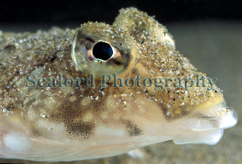 The common dragonet, Callionymus lyra, lying on the sand in the bay of Grand Havre on the north coast of Guernsey<br /> Photographed on 29 August 2003<br /> File No. 3-704<br /> ©RLLord<br /> fishinfo@guernsey.net