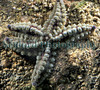 A small spiny starfish, Marthasterias glacialis, found in Belle Greve Bay on Guernsey's east coast.<br /> File No. 15-721<br /> ©RLLord<br /> fishinfo@guernsey.net