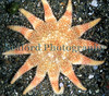 This common sunstar, Crossaster papposus, entered one of Chris Marquis' crab pots in the Big Russel between Herm Island and Sark, Bailiwick of Guernsey.<br /> File No. 32-732<br /> ©RLLord<br /> fishinfo@guernsey.net