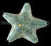 A cushion starfish, Asterina gibbosa, from the east coast of Guernsey.  This is the most common species of starfish found on the Guernsey seashore.  However, the tiny brittlestar, Amphipholis squamata, is more common.<br /> File No. 26-99<br /> ©RLLord<br /> fishinfo@guernsey.net