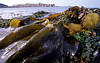 Brown seaweed, furbelows, at low water on The Humps, Bailiwick of Guernsey