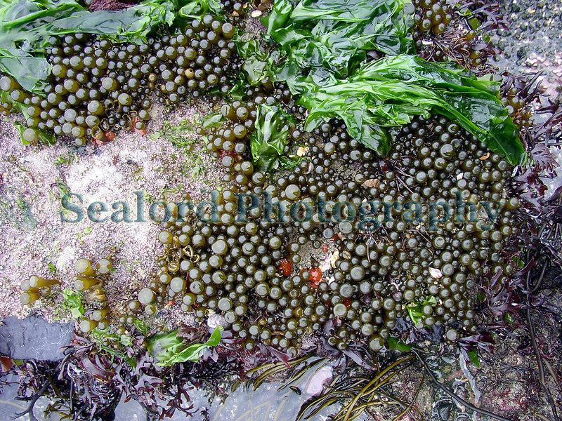Buttons of the brown algae, thongweed, Himanthalia elongata