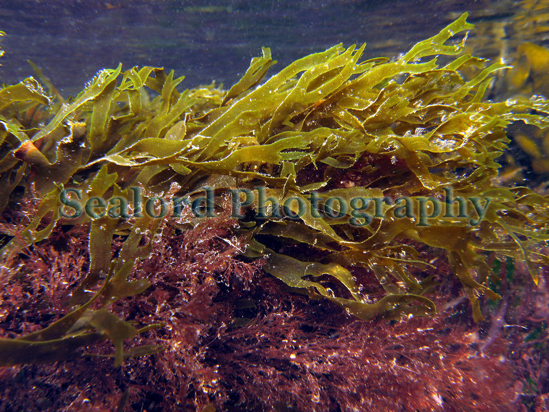 Dictyota dichotoma in a Belle Greve Bay tidepool, Guernsey