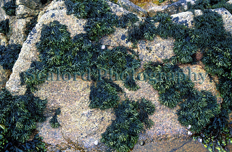 The brown seaweed, channelled wrack, Pelvetia canaliculata, exposed by a low tide