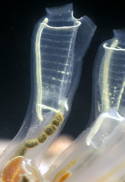 One of the most elegant looking ascidian is the light-bulb sea squirt, Clavelina lepadiformis, which was photographed in the Queen Elizabeth 2 marina, St. Peter Port, Guernsey.  This image shows boluses headed for expulsion via the atrial siphon.<br /> Photographed on 25 August 2003.<br /> File No. 6-700<br /> ©RLLord<br /> fishinfo@guernsey.net