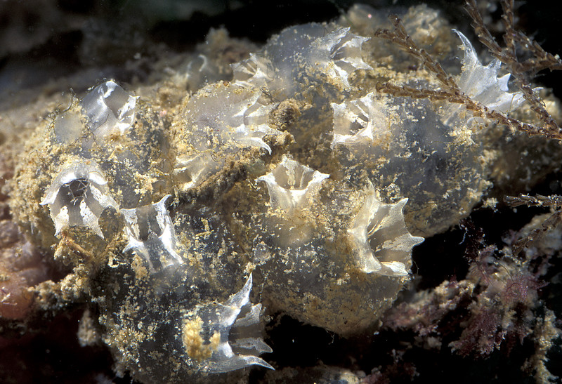 The colonial ascidian Mogula sp., from the Queen Elizabeth 2 marina, St. Peter Port, Guernsey on 19 September 2005.<br /> File No. 24-797<br /> ©RLLord<br /> fishinfo@guernsey.net
