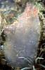 Ascidiella aspersa QEII marina 250803 31-701 smgb