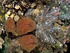 This image shows three species of ascidian attached to the base of a boulder in a shallow pool at Albecq on Guernsey's west coast. The orange ascidian is Morchellium argus. The transparent ascidians with lines of white pigmentation are light-bulb sea squirts, Clavelina lepadiformis, and the small cluster of cream coloured zooids above the Morchellium belong to Sidnyum turbinatum.<br /> Photographed at Albecq on Guernsey's west coast on 9 June 2005.<br /> File No. 5-778<br /> ©RLLord<br /> fishinfo@guernsey.net