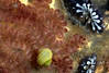 This image shows two common species of ascidian found on the Guernsey sea shore.  The reddish-brown compound ascidian on the left of the image is Botrylloides leachi and the blue and white zooids on the right are the star ascidian, Botryllus schlosseri. The Botryllus schlosseri colony at the top right of the image is made up of about 13 individual zooids.<br /> File No. 36-565<br /> ©RLLord<br /> fishinfo@guernsey.net