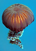 A Compass jellyfish, Chrysaora hysoscella, swimming in St Peter Port harbour, Guernsey on 8th August 1997