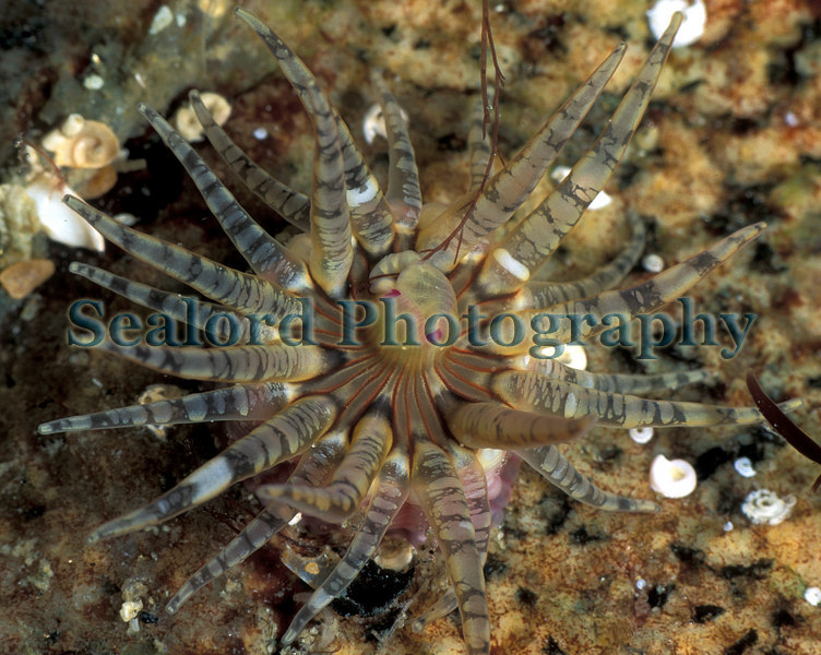 gem anemone Aulactinia verrucosa LaV 5-747 smg