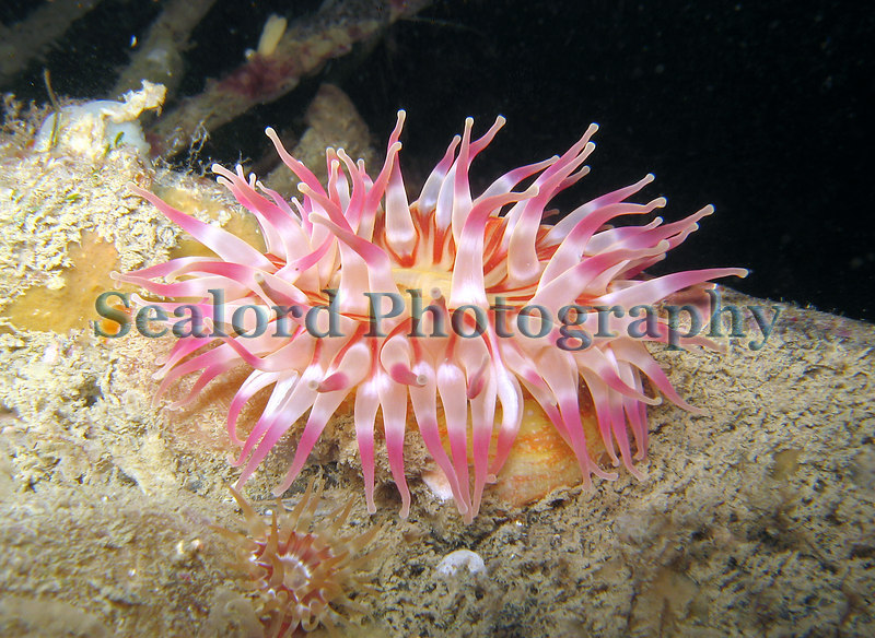 A dahlia anemone, Urticina felina, grows on a pontoon in St Peter Port harbour, Guernsey on 19th December 2006