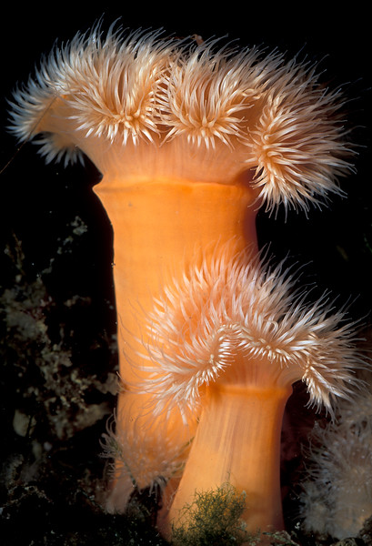 Plumose anemones, Metridium senile, growing in the QEII marina, St Peter Port harbour, Guernsey on 16th August 2005