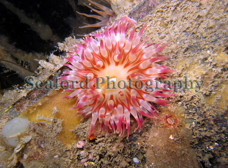 A dahlia anemone, Urticina felina, with a diameter of 5 to 6 cm growing on the side of the rectangular metal float of a pontoon attached to the fish quay in St. Peter Port harbour, Guernsey.  This photograph was taken with a Canon S80 digital camera with an underwater housing.  Fanworms grow down from the base of the pontoon float.  <br /> <br /> The dahlia anemone is uncommon in Guernsey rock pools on the seashore but the pontoon attached to the fish quay has large numbers of them.  Unfortunately, the pontoon is cleaned every four or five years so they will be removed but presumably they will recolonise the cleaned pontoon in time.<br /> Photographed on 19 December 2006<br /> File No. 191206 4905 <br /> ©RLLord<br /> fishinfo@guernsey.net
