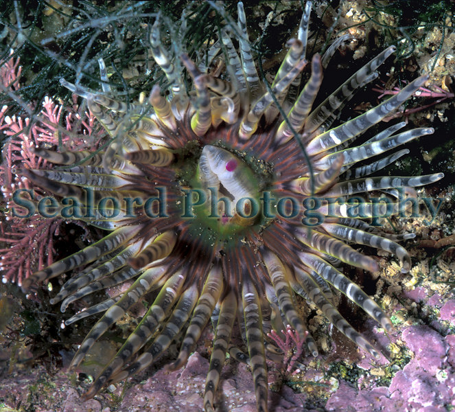 This gem anemone, Aulactinia verrucosa, was photographed in a tide pool at La Valette on Guernsey's east coast on 8 June 2005.  Gem anemones are species of the upper seashore.  <br /> <br /> Beadlet anemones also live at a high level on the shore.  Many beadlet anemones live on open rock faces.  They can prosper in areas exposed to air for hours each day. <br /> <br /> Gem anemones, on the other hand, live in upper shore rock pools.  They need moisture.  Although they can withdrawn their tentacles into their column they do not tolerate desiccation.  Gem anemones live predominately in pools with crustose and erect coralline algae.<br /> <br /> File No. 080605 4-777<br /> ©RLLord<br /> sealordphoto@gmail.com