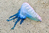 Portuguese man o' war, Physalia physalis, washed up at Port Grat on Guernsey's north west coast on 18th November 2017