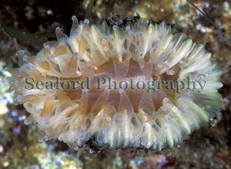 Devonshire cup coral, Caryophyllia smithii, on a pontoon in the QE II marina, St Peter Port harbour on 19th September 2004