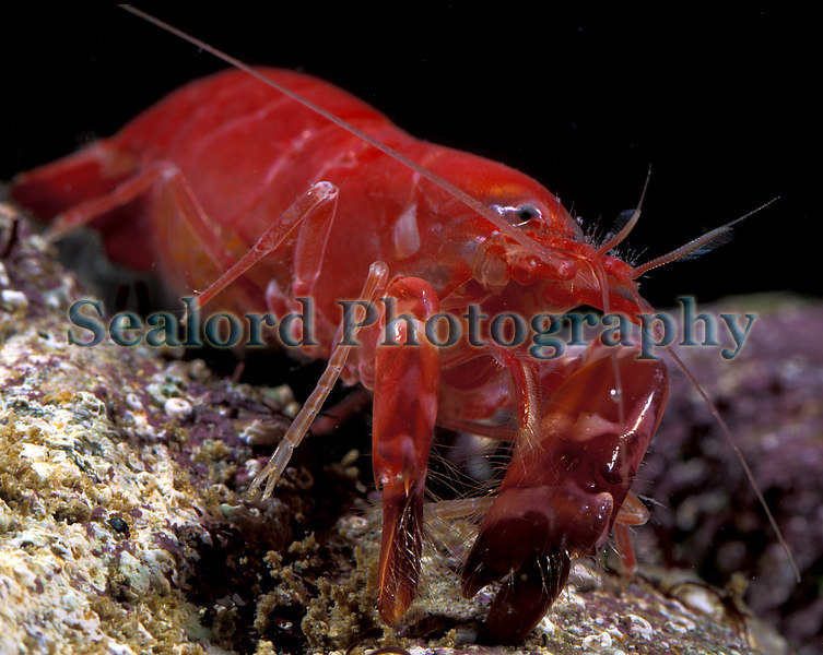 Snapping prawn Alpheus macrocheles which entered a Clive Brown crab pot off Guernsey's south coast on 3 July 2003.