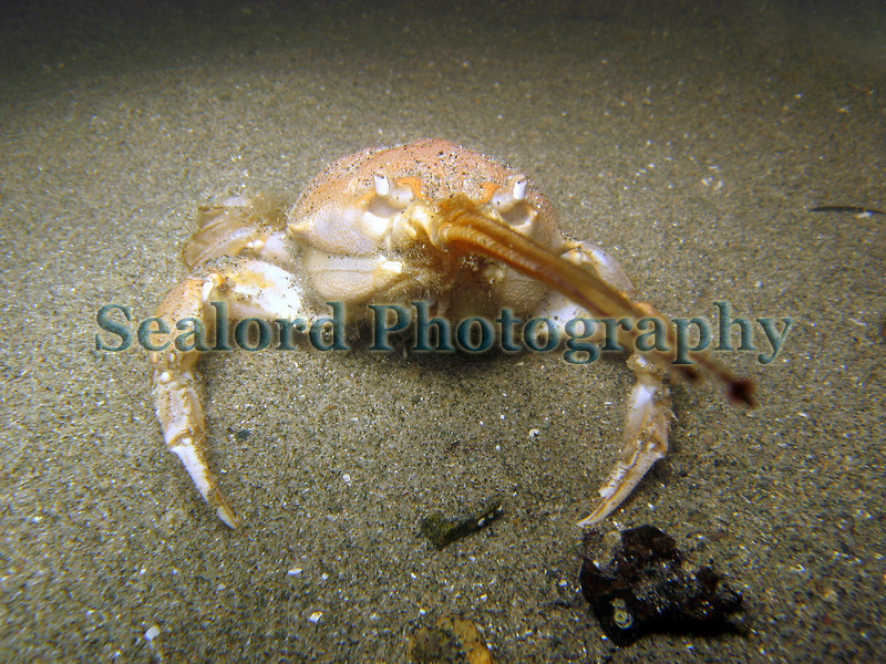 Masked crab, Corystes cassivelaunus, on the sea bed in Belle Greve Bay on Guernsey's east coast