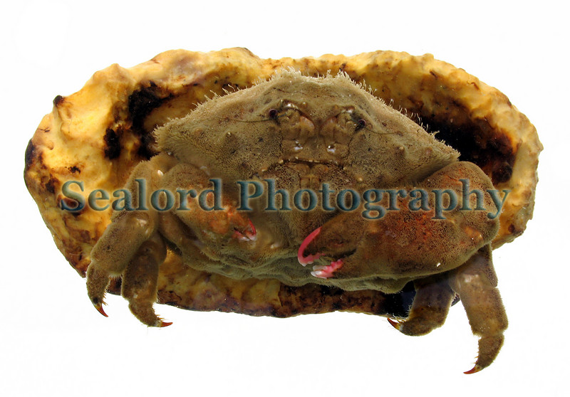 The sponge crab, Dromia personata, with its sponge overcoat