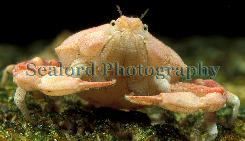 Pennant's nut crab Ebalia tuberosa from a Clive Brown crab pot fishing off Guernsey's south coast