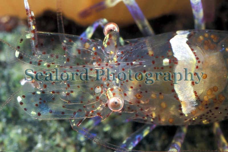 The anemone prawn Periclimenes sagittifer from Belle Greve Bay