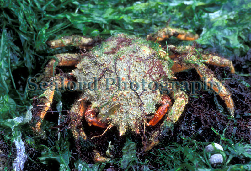 Juvenile spider crab, Maja brachydactylus, in the inter-tidal area of Belle Greve Bay on 16th May 2007