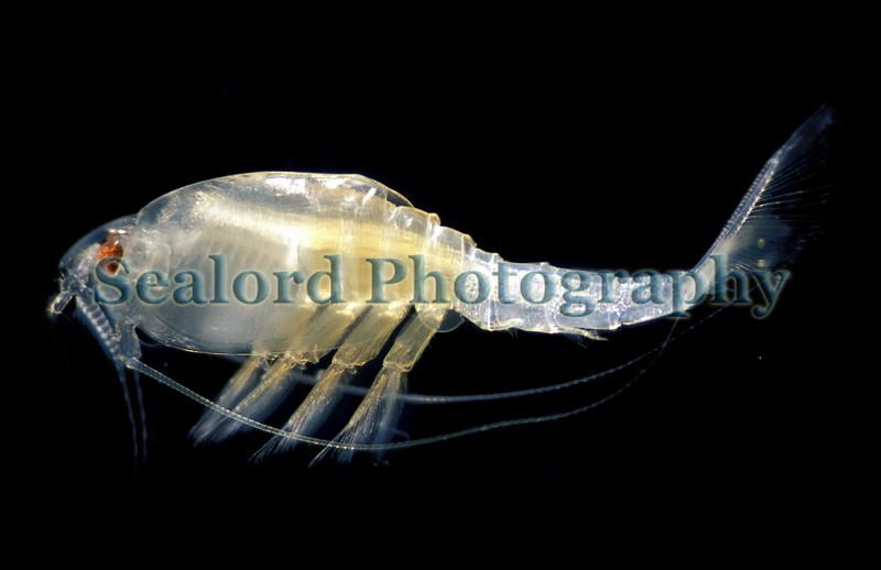 The crustacea Nebalia borealis from Perelle Bay on Guernsey's west coast