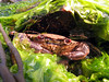 Velvet swimming crab or lady crab, Necora puber, at La Valette on Guernsey's east coast on 29th April 2006