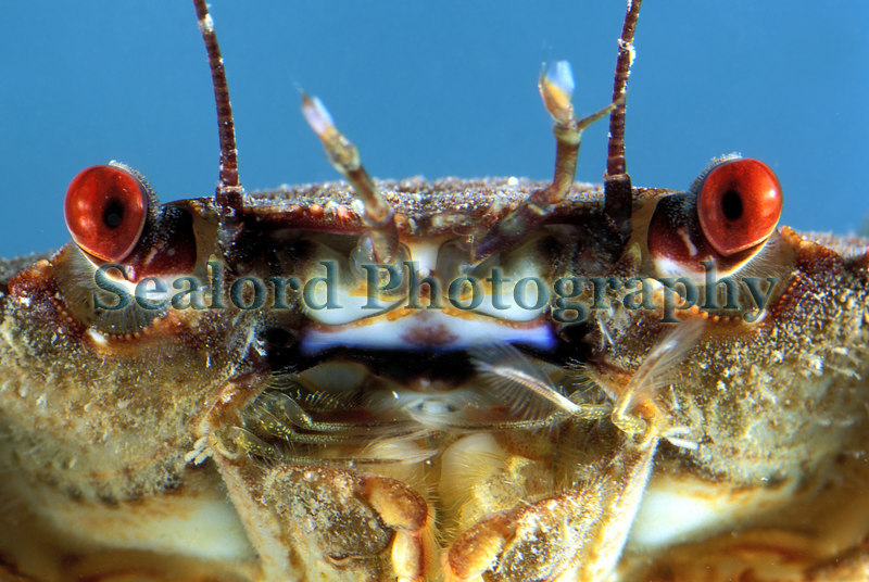 Velvet swimming crab Necora puber from La Valette on Guernsey's east coast