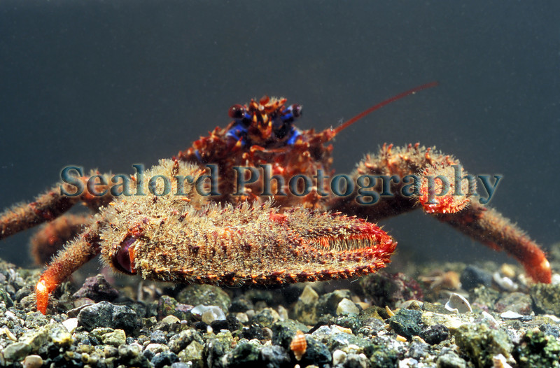 The squat lobster Galathea strigosa from Belle Greve Bay on Guernsey's east coast