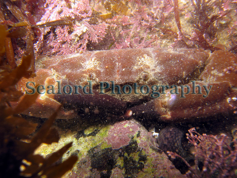 Furrowed crab, Xantho hydrophilus, photographed in Belle Greve Bay on Guernsey's east coast on 5th March 2007