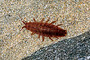 The isopod Idotea balthica in a tide pool on the beach at Petit Port on Guernsey's south coast on 7th October 2020