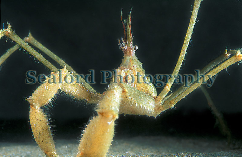 Macropodia tenuirostris from a Clive Brown crab pot off Guernsey's south coast