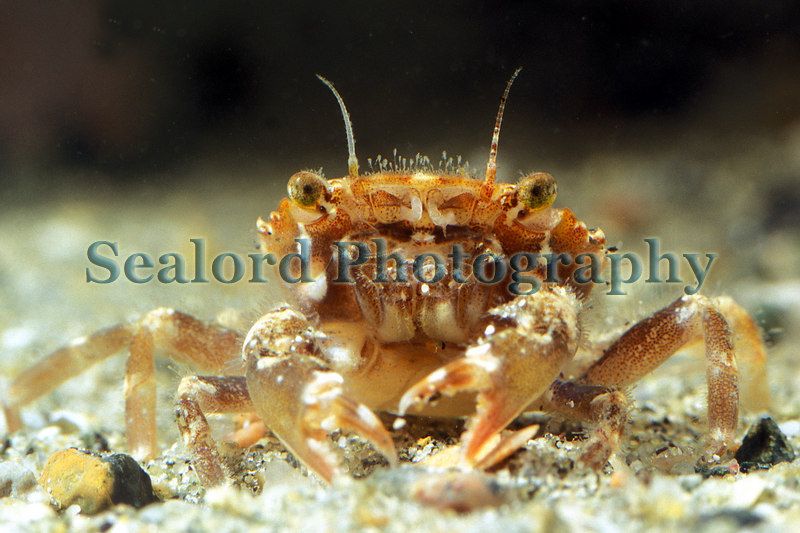 The crab Liocarcinus arcuatus from eel grass beds in Belle Greve Bay on Guernsey's east coast