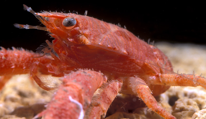 The squat lobster, Galathea dispersa, found in a crab pot off Guernsey's south coast