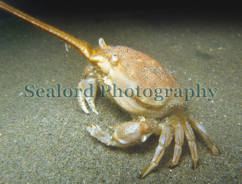 Female masked crab, Corystes cassivelaunus, lives under the surface of the sand in Belle Greve Bay
