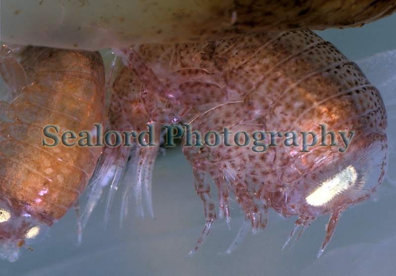 The amphipods Hyperia galba that live in the folds of tissue of the compass jellyfish, Chrysaora hysoscella
