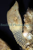 The stalked barnacle Scalpellum scalpellum from a Clive Brown crab pot, which was fishing off Guernsey's south coast