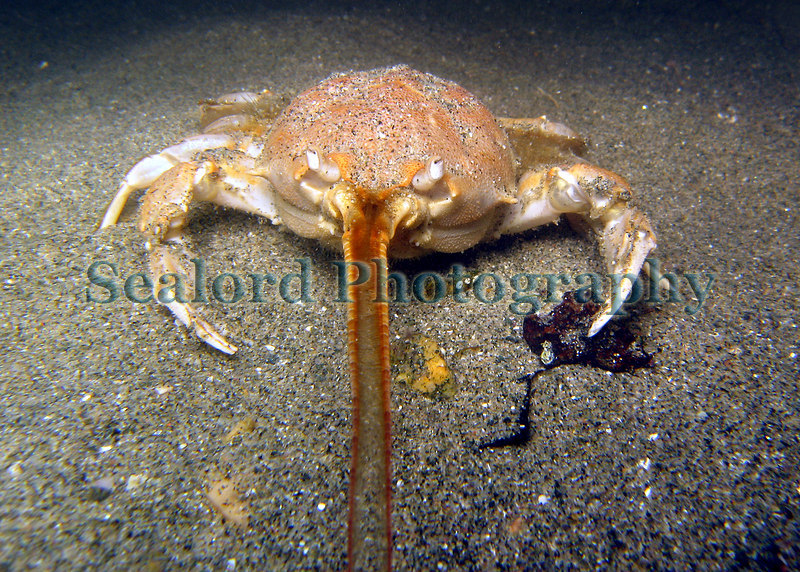 Masked crab, Corystes cassivelaunus, on the sediment in Belle Greve Bay on Guernsey' s east coast