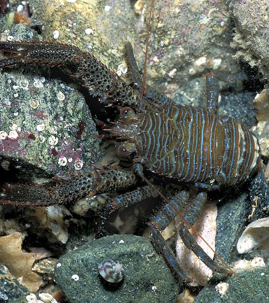 The shore squat lobster Galathea squamifera at La Valette on Guernsey's east coast