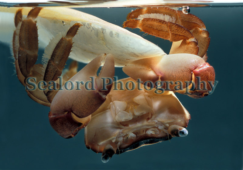 Columbus crab Planes minutus on a floating cuttlebone